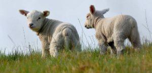 Библия и овцы - удивительные факты из жизни овец