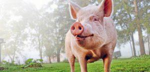 Как нечистые животные Ветхого Завета стали чистыми для христиан?