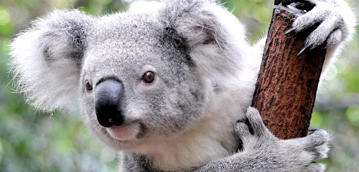 Как животные из ковчега добрались до Америки и Австралии?